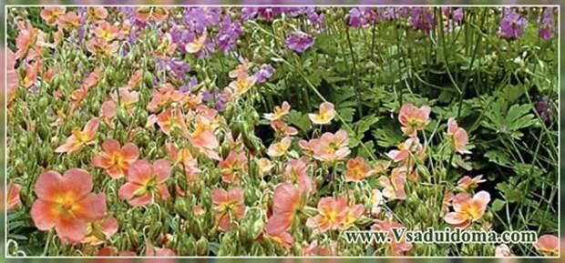Солнцесвет гелиантемум (фото) — виды цветка