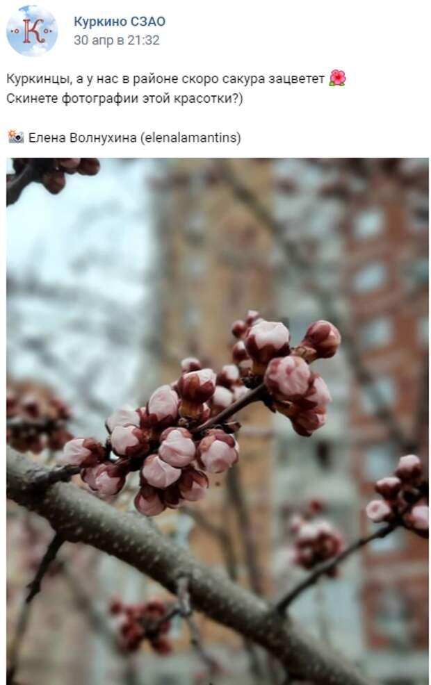 Фото дня: цветущая сакура