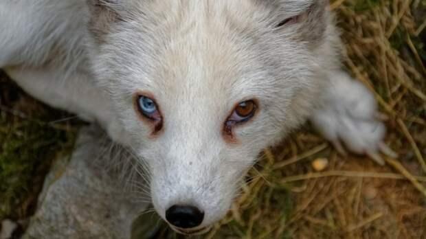 В Приморском парке «Белый лев» родились три малыша-песца