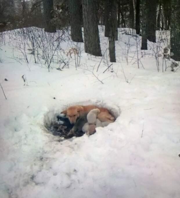 Собака три недели жила с щенками в сугробе