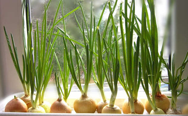 Выращиваем лук на зелень в лотке для яиц. Перо появляется за 2 недели, и земля не требуется