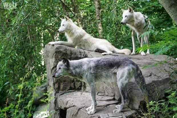 Как ведут себя самые ленивые волки вмире