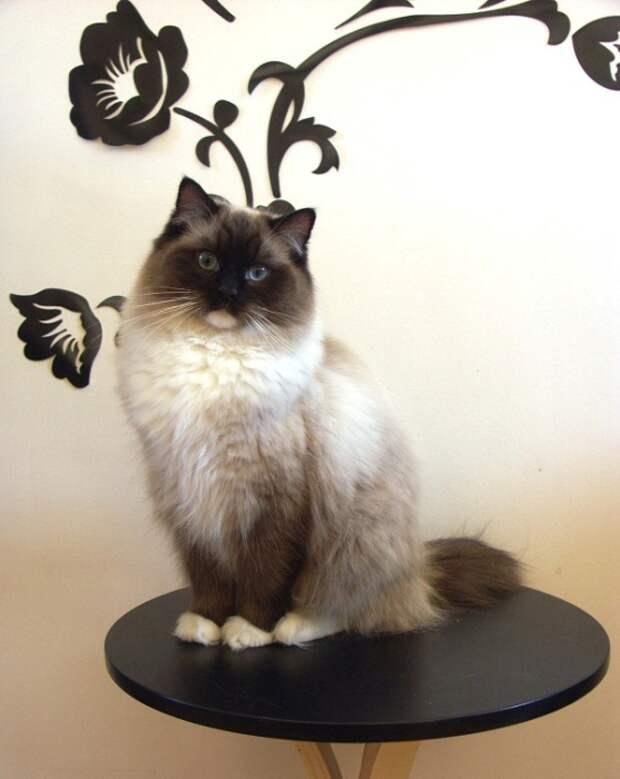 Самая популярная порода кошек в мире. | Фото: udivitelno.com