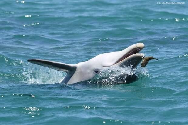 Как рыба фугу помогает «прибалдеть» австралийским дельфинам