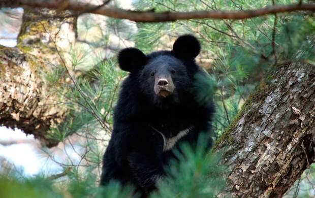 Белогрудый медведь довольно большой