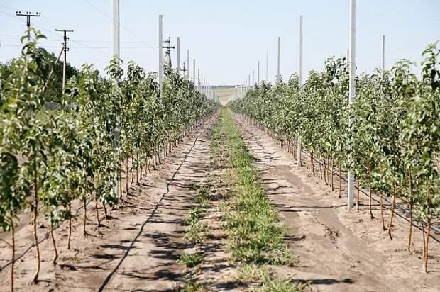 На Кубани урожайность садов выросла на 41 процент за пять лет