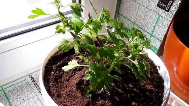 Как сохранить хризантему