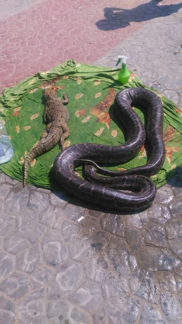 Крокодил у полицейского опасный, но мирный Фото: из личного архива