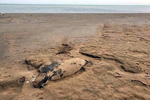 Более 150 мёртвых краснокнижных тюленей обнаружили на Каспии
