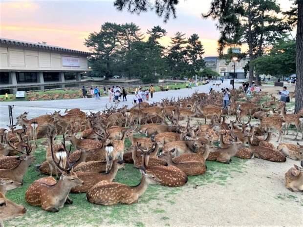 Рогатый феномен: сотни оленей впарке Нара ежедневно собираются водно итоже время