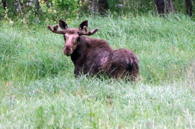 Экологи заподозрили в ибридинге лосей под Новосибирском