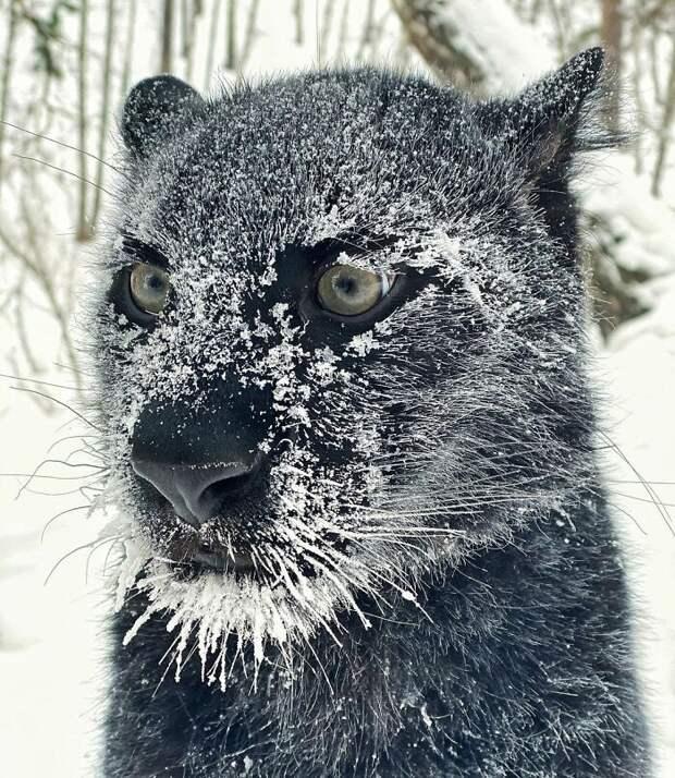 Пантера-сиротка подружилась с ротвейлером и научилась жить в снежной Сибири
