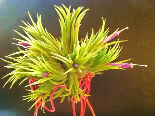 Тилландсия — разнообразие атмосферных красавиц