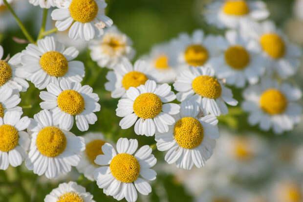 Настоящие ромашки — Chrysanthemum parthenium