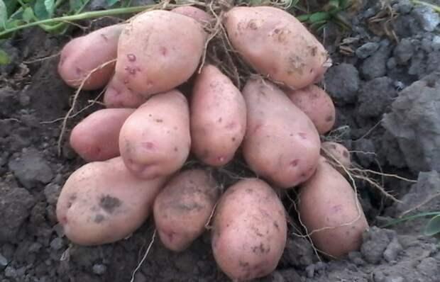 Вам надоело есть старую картошку из погреба весной?Ранний картофель. Лучший сорт для посадки. Советы.