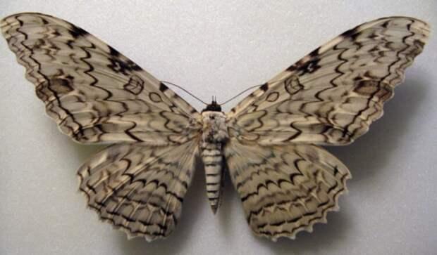 В Австралии найдена самая тяжелая бабочка с огромными крыльями