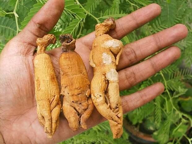 Состав и лечебные свойства корня женьшеня