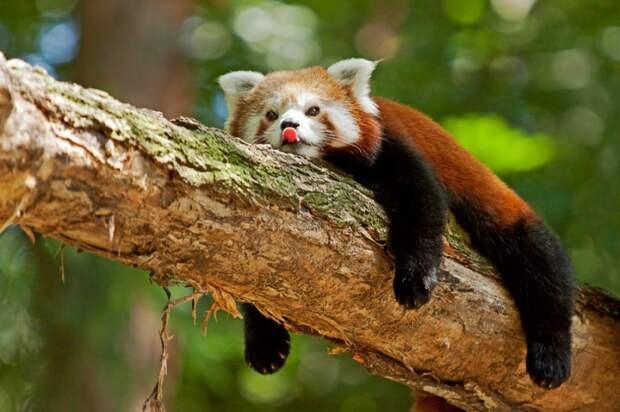 Самые интересные животные мира. Красная панда