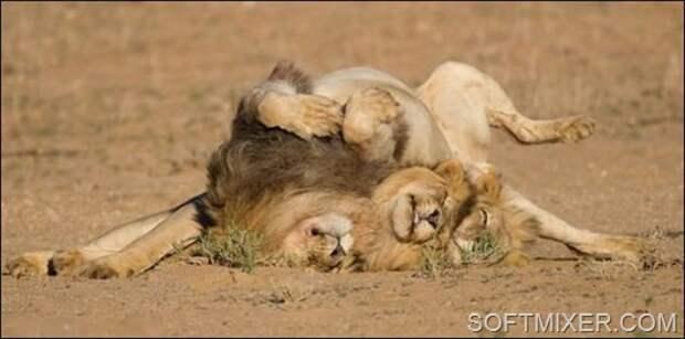 91618331_91457633_lions__4_