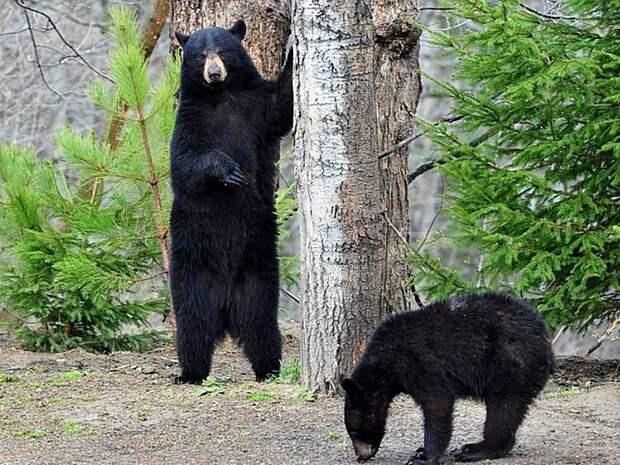 Барибал-медведь-Описание-и-образ-жизни-барибала-4