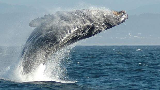 Американский дайвер выжил после минутного нахождения внутри кита