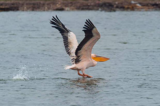 В Крым прилетел одинокий розовый пеликан
